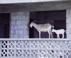 Goats at St. Nevis - Caribbean Islands Travel Photography