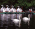 Swan boats at Swan Pond - Boston Public Garden Swan Boston, MA Travel Photography