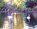 Swans on Swan Pond - Boston Public Garden Swans Boston MA Travel Photography