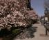 Magnolias in Boston's Backbay Travel Photography